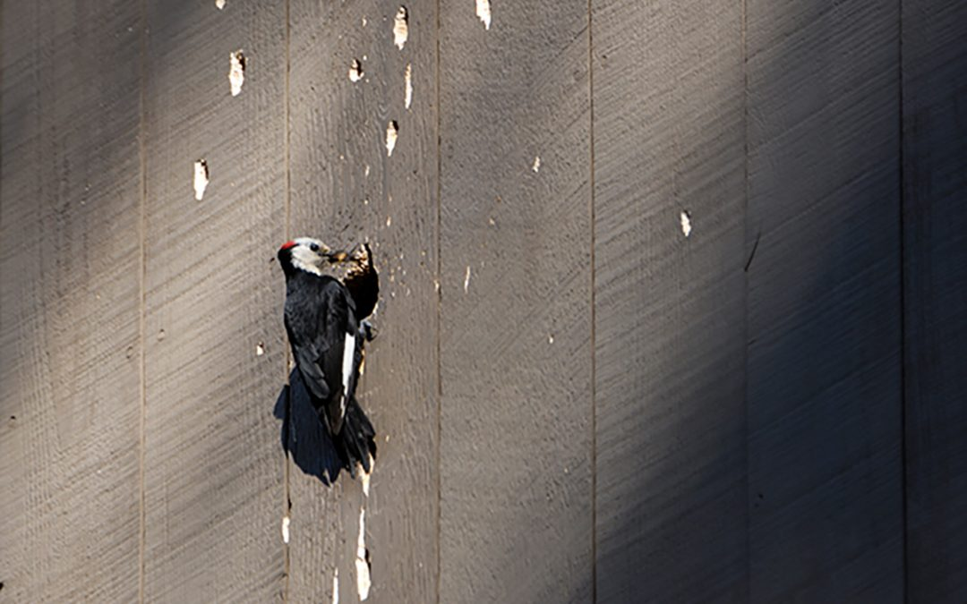 Replace Cedar Siding with a Woodpecker-resistant Alternative